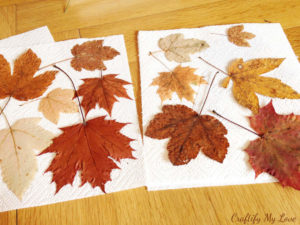pressed and dried maple leaves
