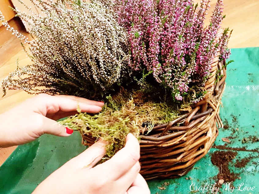 filling in blank spaces between heather with moss and bark for autumn basket