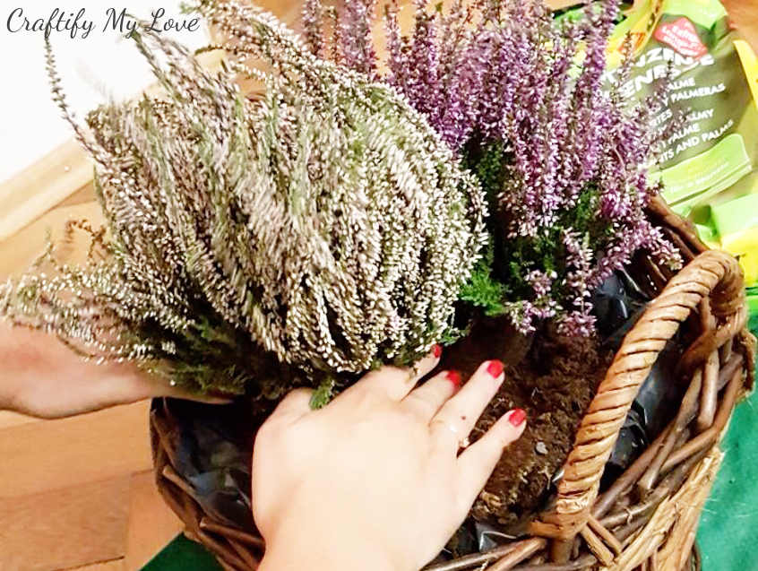 planting heather in basket for fall front porch decor