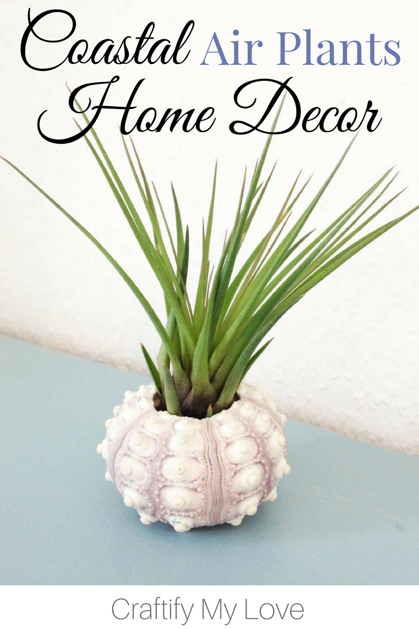 Are you looking for some creative home decoration ideas? Why not use a sea urchin as an air plant container. Follow the link for even more creative ideas!!! #craftifymylove #coastaldecor #beachydecor #creativehomedecor #diyhomedecor #airplantcontainer #seaurchin #beachcombing